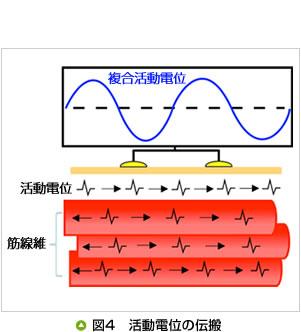 図4 活動電位の伝搬